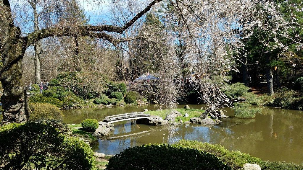 Sakura Sunday Shofuso House Garden