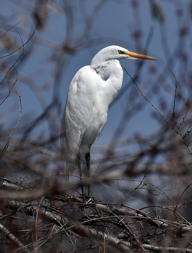 White-Egret-4092-copy.jpg