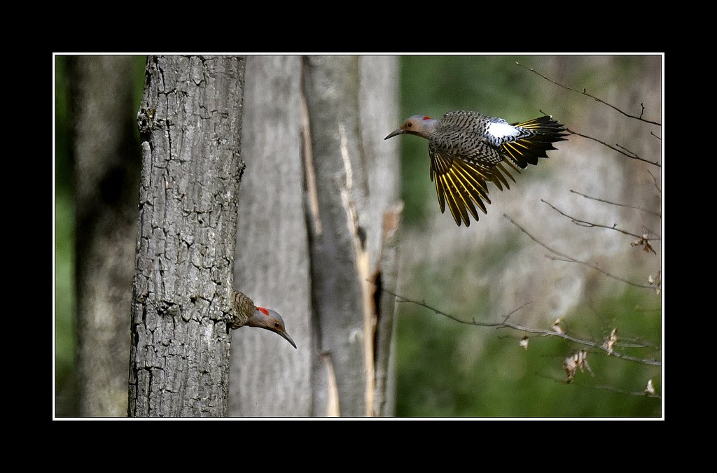 Nothern Flicker  Yellow shafted varient