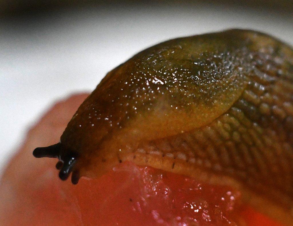 Snail-eating-Watermelon-4328.JPG