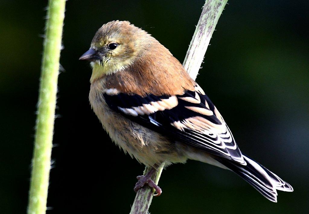 Female-Goldfinch-4190.jpg