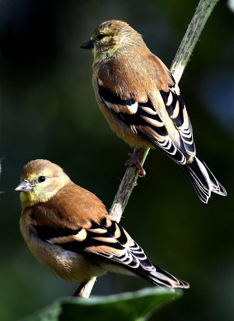 Female-Goldfinch-4198-copy.jpg