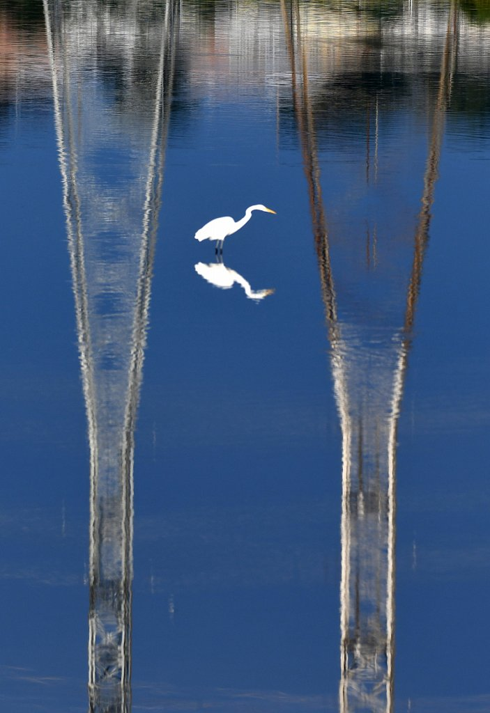 Great-Egret-reflection-of-power-lines-in-water-4553.JPG