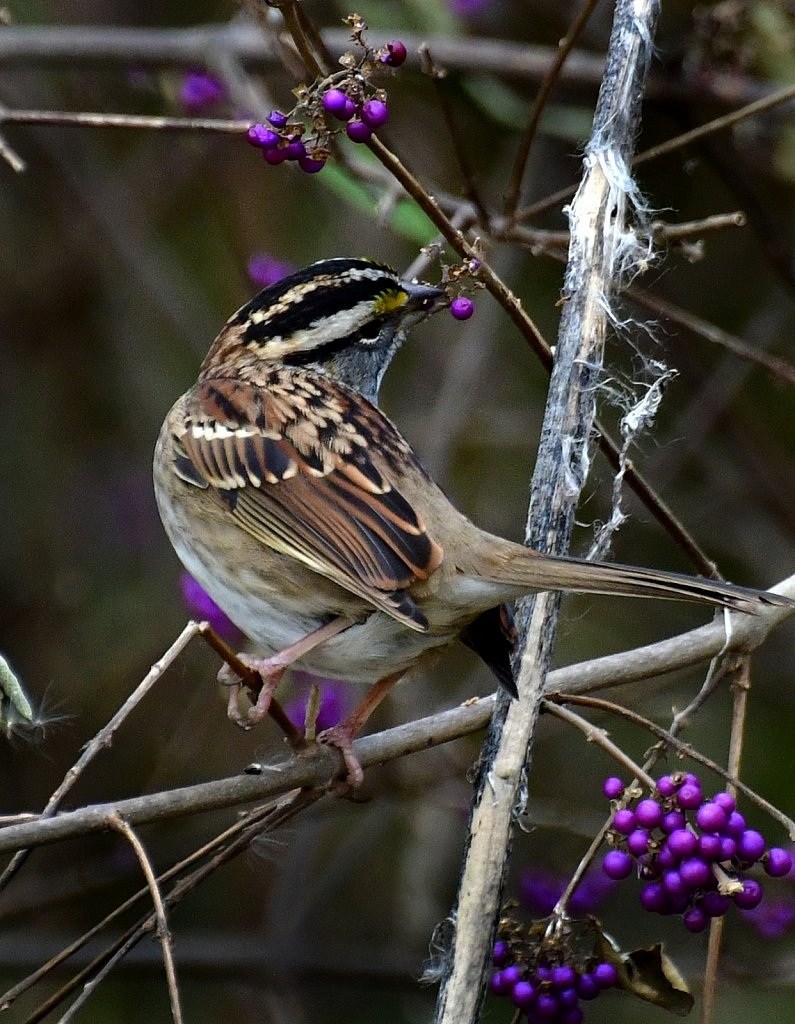 RG8-8377-Savannah-Sparrow.jpg