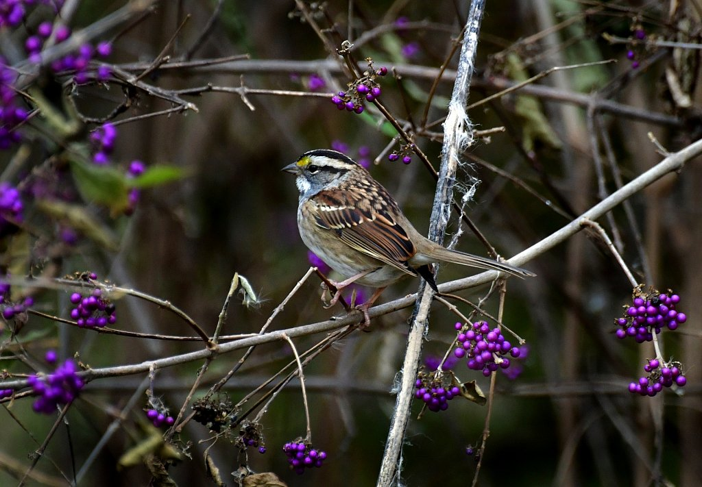 RG8-8378-Savannah-Sparrow.jpg