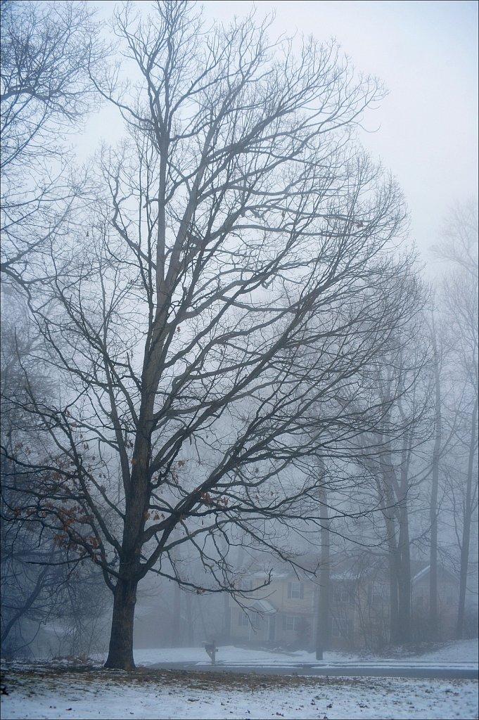 Oak In Fog