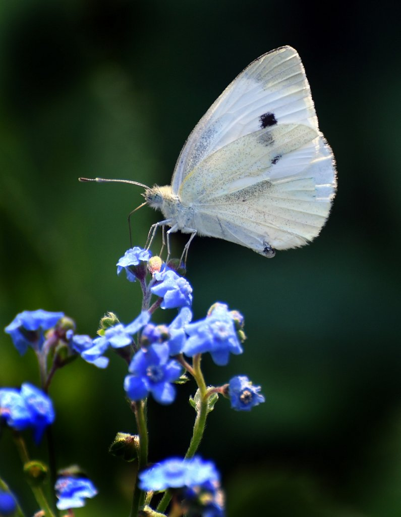 White-ling-butterfly1589-copy.jpg